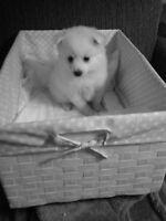 Mini American Eskimo puppy