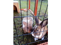 2 Gorgeous 9-10 week old Bunnies looking for a loving forever home G-DWARF B- LIONHEAD