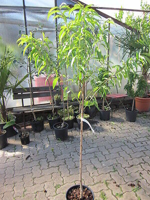 Plattnektarine Tellernektarine frosthart -20°C 150cm Nektarinenbaum Nektarine