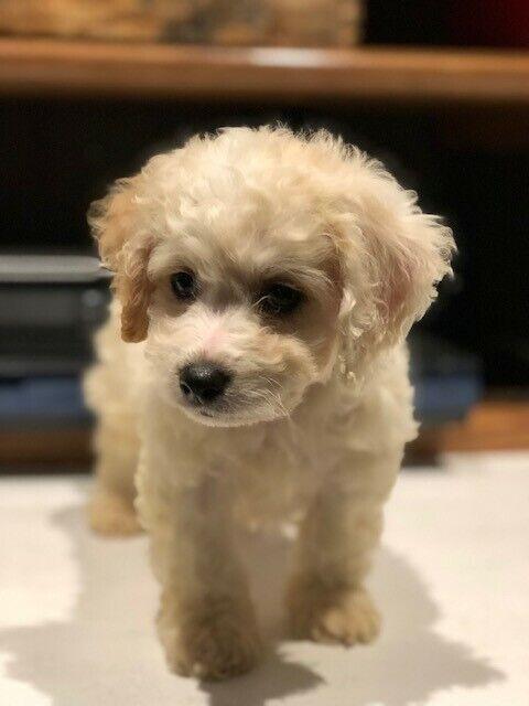 Cavachon Puppies: Cavalier King Charles Spaniel/Bichon Frise