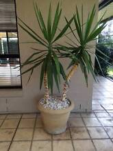 Potted yakka Glenmore Park Penrith Area Preview