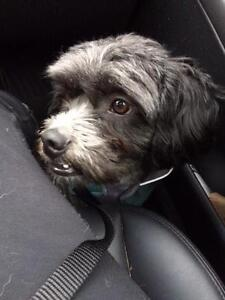 """Young Male Dog - Lhasa Apso: """"Max"""" North Shore Greater Vancouver Area image 1"""