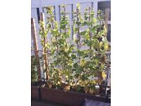 Ivy Plant in Trough for screening