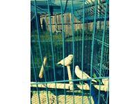 pair of white zebra finches