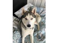 Husky 3 years old