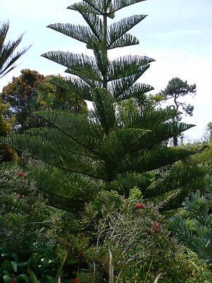 Norfolk island pine - Araucaria heterophylla . 5 seeds (Norfolk Pine Tree)