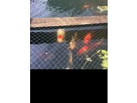 koi pond large quality fish for sale