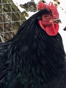 Rooster (Black Cochin) for sale