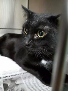 "Adult Male Cat - Domestic Short Hair: ""Midnight 17 (PN 24)"""