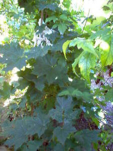 2  VERY HEALTHY MAPLE TREES --6-8FT. Tall