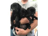 Retriever cross puppies
