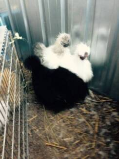 Silkies-Breeding Pairs, and Araucana Roosters Cowra Cowra Area Preview