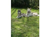 Sibrian husky cross german sheperd puppys