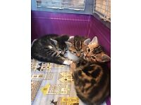 Family friendly half bengal kittens for sale