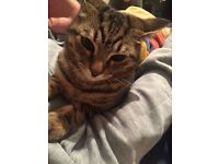 Cat found - young tabby