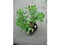 Plant Daisy White