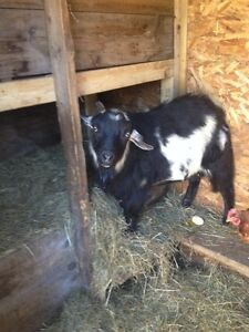 Buck Pygmy Goat for Sale