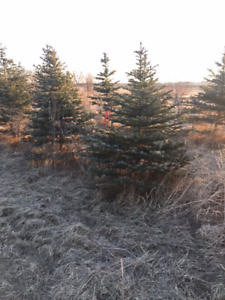 Blue Spruce & More... Direct Sales