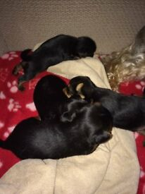Golden Retriever X German Rottie In Luton Bedfordshire Gumtree