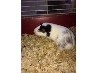 Two adorable Guinea Pigs (both female) for sale