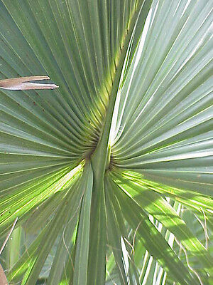 Used, Sabal gretherae gretheriae Extremely Rare Species! Collector Palm - 5 seeds for sale  Corinth