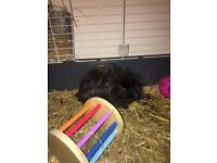 Two four month old female guinea pigs with a 20+ square c&c cage.