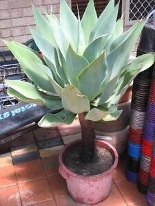Beautiful Agave plants for sale Mirrabooka Stirling Area Preview