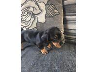 dachshund girl pup