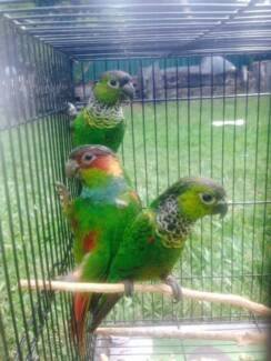 HANDRAISED CAIQUES AVAILABLE FOR SALE AND CONURES STARTING FROM Broadbeach Waters Gold Coast City Preview
