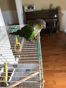 Black Capped green cheek conure 1 year old and cage
