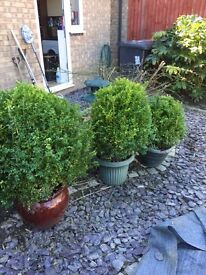 Box Ball Buxus sempervirens potted