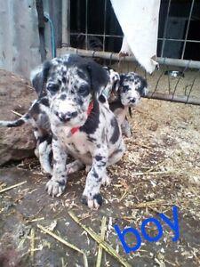 Great dane puppies Woodridge Logan Area Preview
