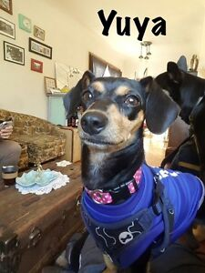 SMALL & SWEET - 1 year old mini pin mix is ready for adoption