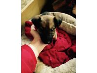 for sale a puppy German shepherd 3 mouths