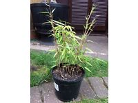 Bamboo Plant in a Pot
