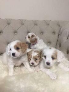 Four Cavoodle puppies for sale Kuraby Brisbane South West Preview