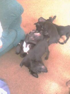 Labrador X Hungarian Vizsla puppies for sale