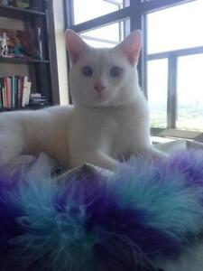 """Adult Male Cat - Domestic Short Hair-white: """"Anderson"""""""