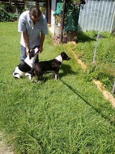 2 border collie x pups!! Bundaberg Central Bundaberg City Preview