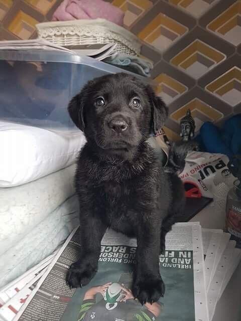 Labrador Cross German Shepherdsheprador Puppies For Sale In