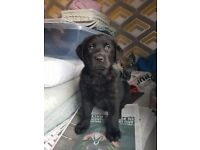 Labrador cross German shepherd(sheprador) puppeies for sale
