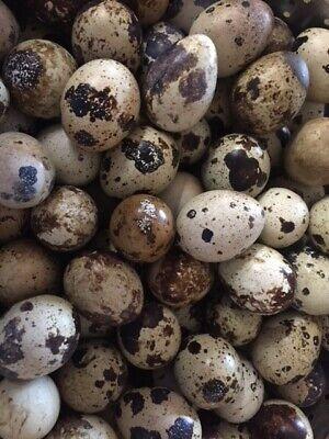 More Than Four Dozen48 Fresh Jumbo Coturnix Quail Eggs For Hatching