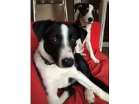 Border Collie Male for Sale - 5 1/2 months old