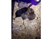 Baby long hair hamsters