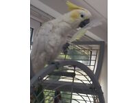 Sulpher/Crested cockatoo