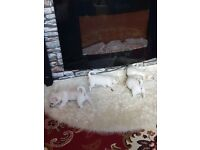 White/Cream Chihuahua Puppies For Sale - One Pup Left