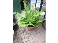Large fern plant for the garden with several offshoots