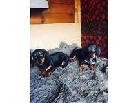 for sale miniature dachshund girls