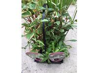 Live POND Plants for sale