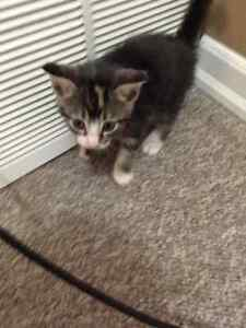Super cute kittens almost ready for rehoming!! Edmonton Edmonton Area image 6